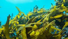 褐藻の力で皮脂コントロール