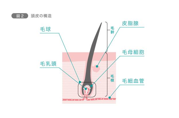図2 頭皮の構造