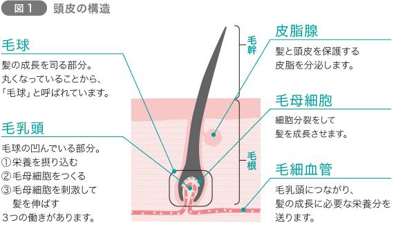 髪の一生(ヘアサイクル)を知ろう 図1