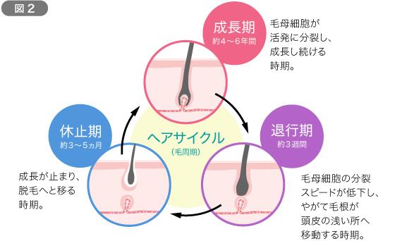 髪の一生(ヘアサイクル)を知ろう 図2
