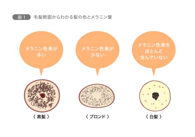 図1 毛髪断面からわかる髪の色とメラニン量